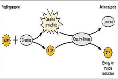 phosphagen-system